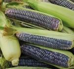 Organic Blue Jade Corn