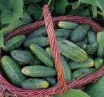 Organic Bushy Cucumber