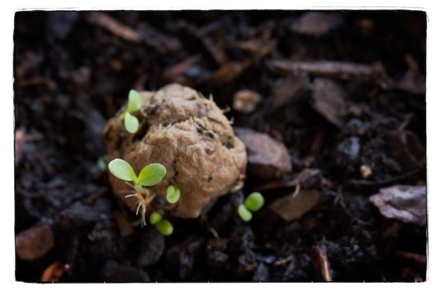 seed bomb