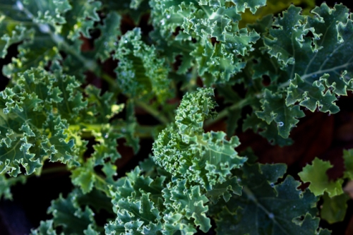 Dwarf Blue Scotch Kale