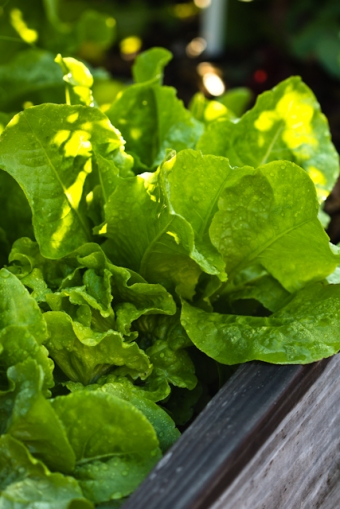Buttercrunch Bibb Lettuce